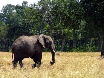 Bull Elephant, Masai Mara, Kenya safari wildlife