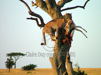 Leopard with gazelle kill, Masai Mara, Kenya safari wildlife