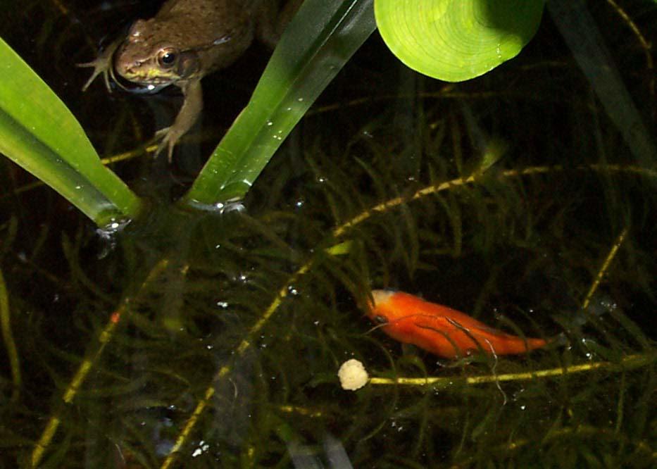 Backyard Pond Frogs Of The Smal Pond