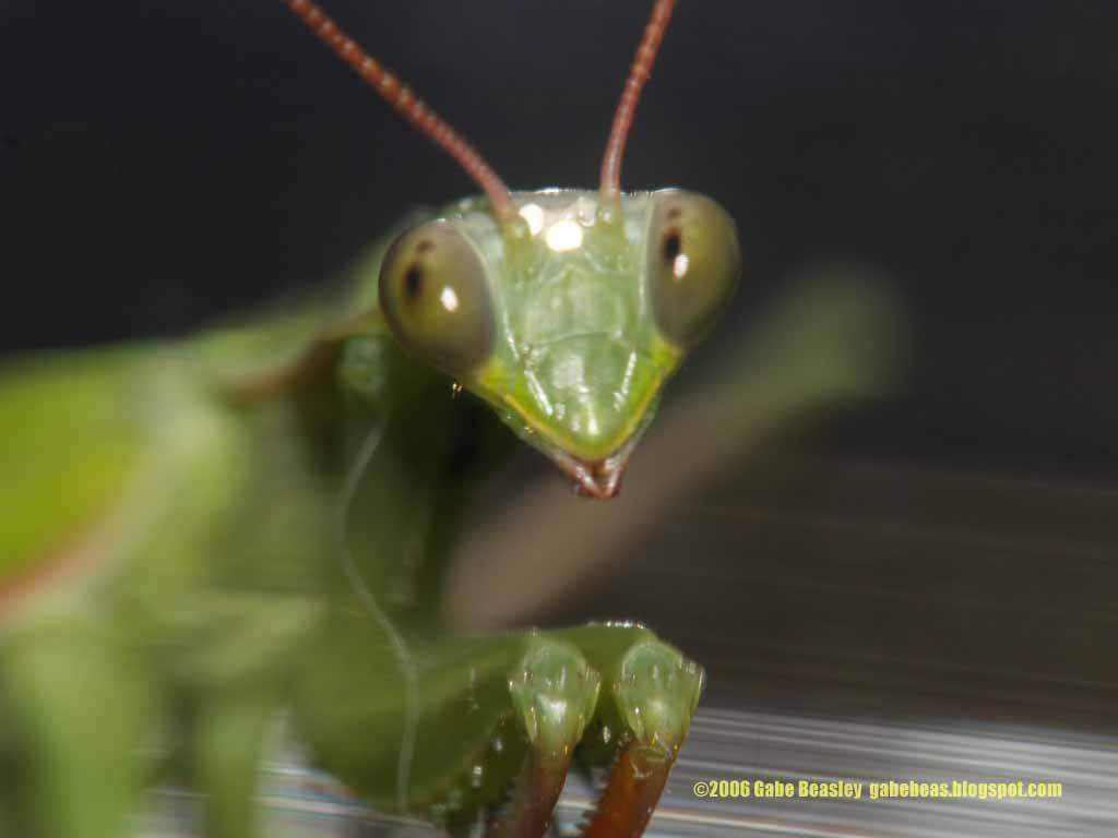 Praying Mantis Eating Spider a Praying Mantis Eat