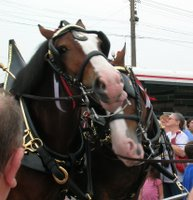 Clydesdales at Mountaineer