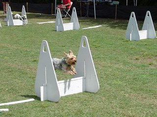 flyball yorkie