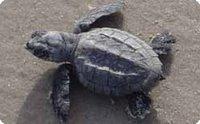 Ripley Turtle hatchling