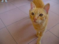 Cika the cool orange ginger cat