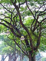 Tree beside the Magistrate by the muddy Klang river