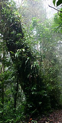 Epiphytes in cloud forest