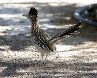 Roadrunner, Copyright Shawn Kielty2005. All rights reserved.