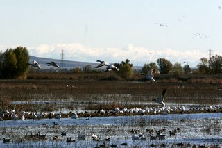 Winter Fowl, Colusa NWR. Copyright 2005, Shawn  Kielty. All rights reserved.