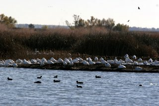 Winter Fowl, Colusa NWR.  Copyright 2005 Shawn Kielty. All rights reserved.