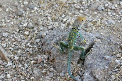 Collared Lizard Male, Usery Mountain Recreation Area.  © Shawn Kielty 2005.  All rights reserved.