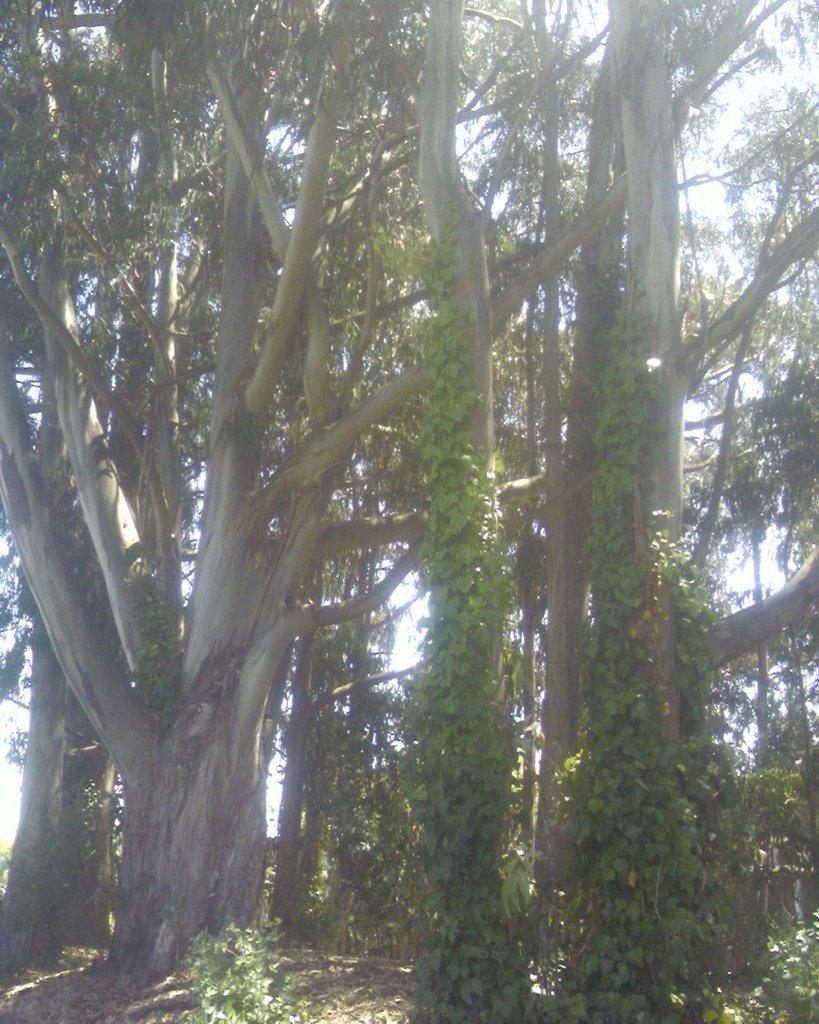 Eucalyptus.0