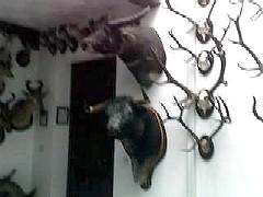 Una cabeza de toro de lidia es exhibida como trofeo en un museo de caza de Ronda