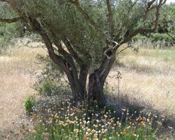 olive tree and Provence flowers
