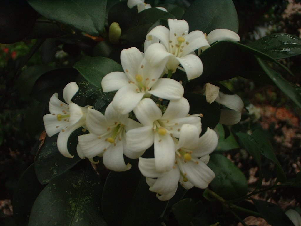 White light white heat anyas garden natural perfumes the orange jasmine isnt really a jasmine nor an orange it smells like jasmine and the flowers look like orange flowers since i dont have a picture of mightylinksfo