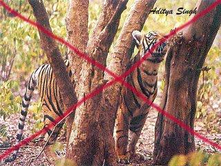 Tiger poaching in Ranthambore