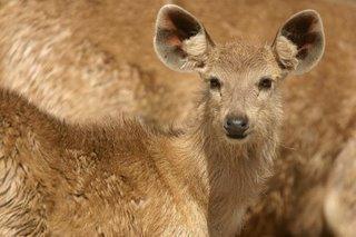 sambar deer fawn