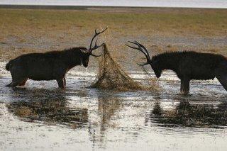 sambar deer stags in rut