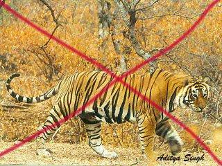 Tiger poaching in Ranthambhore