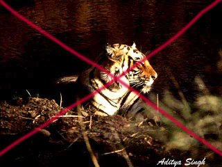 Missing male tiger of Ranthambore, probably killed by tiger poachers
