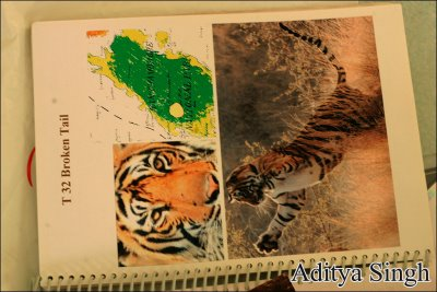 Broken Tail - a wld tiger that was run over by a train