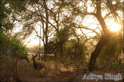 sambar deer in Ranthambore