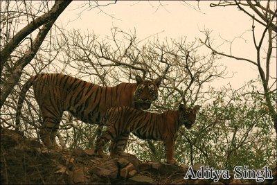 Tigress and cub