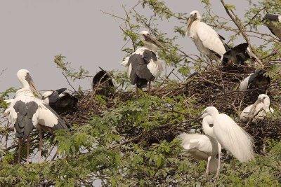 nesting in Bharatpur