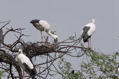 Open-billed Storks nesting in Bharatpur
