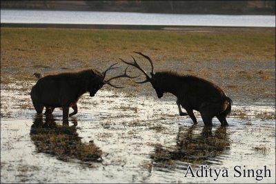Sambar deer stags