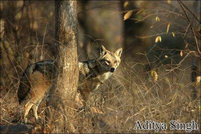 Golden jackal in Ranthambore