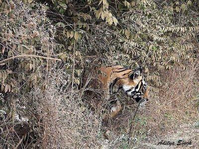ranthambore male tiger