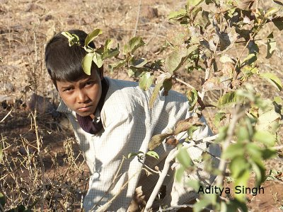 Young boy picking gum resin from Anogeissus latifolia in south Rajasthan