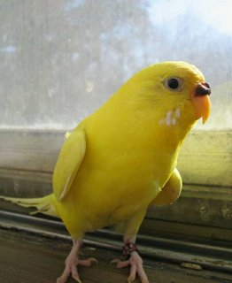 Sonny the sunny yellow parakeet