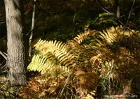 native ferns in carlos avery wma