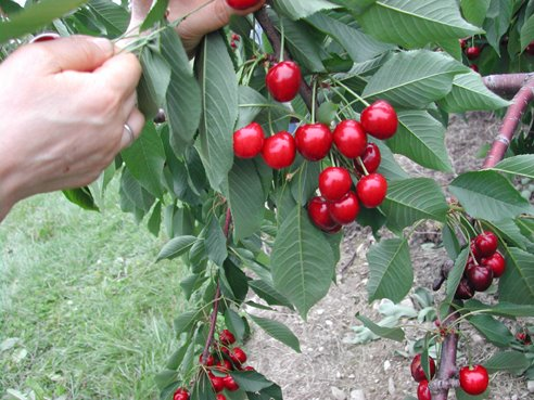 A cherry pickin wine sippin day in the country the whiskey rebellion - Romanian cherry tree varieties ...