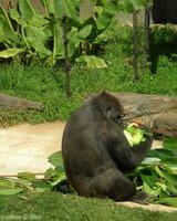 gorilla 2006