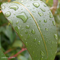 raindrops on gum leaf