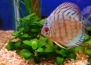 discus fish 2006