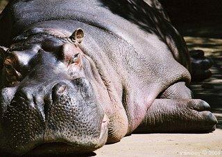 hippo 2006