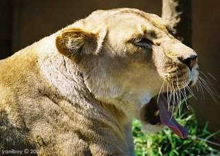 lioness 2006