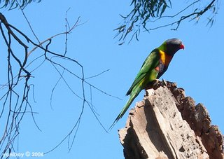 rainbow lorikeet 2006