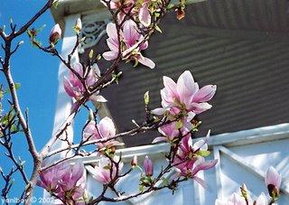 magnolia 2002