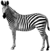 Mr ed is a zebra