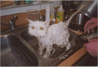 Miserable Cat after Bath - Funny