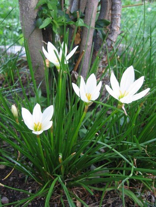 Cucino in giardino il fiore di zefiro for Nomi di fiori bianchi
