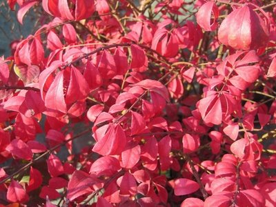 Cucino in giardino sempre pi rosse for Pianta con foglie rosse