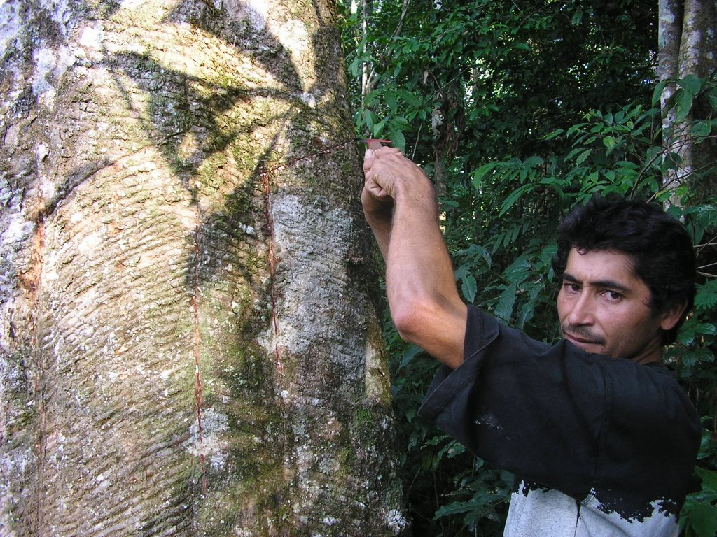 Rubber Tappers Drawing The Tree That Produces Rubber