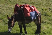 Mule sur le TMP