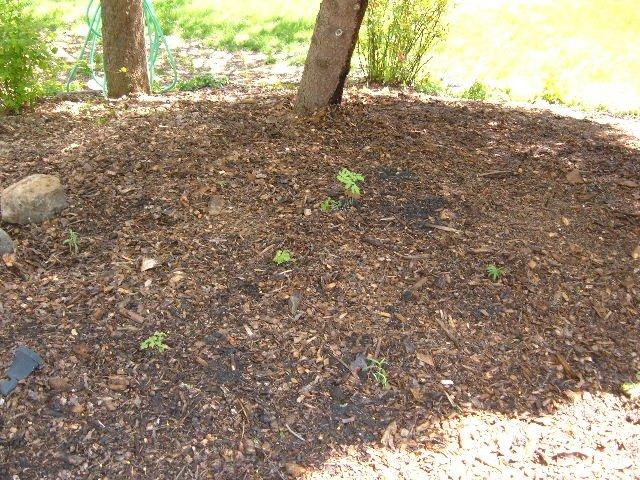 Planting Under Elm Trees : Rosemarie s garden planting the native plants