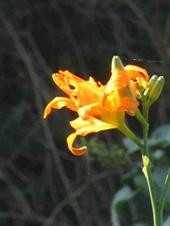 Variegated daylily flower